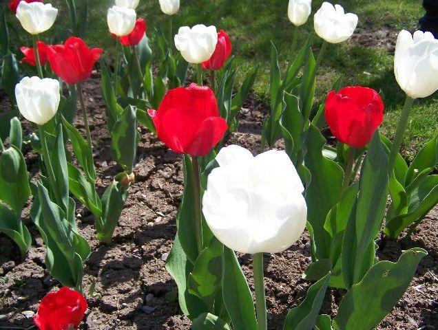 memorial_garden_tulips_2016_3
